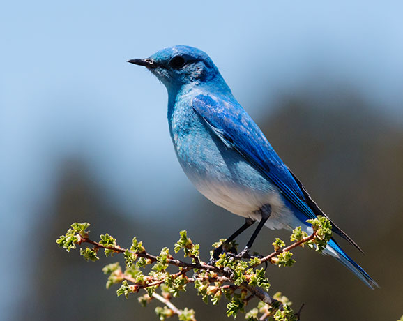 Mountain Bluebird Sialia currucoides