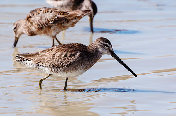 Long-billed Dowitcher Limnodromus scolopaceus