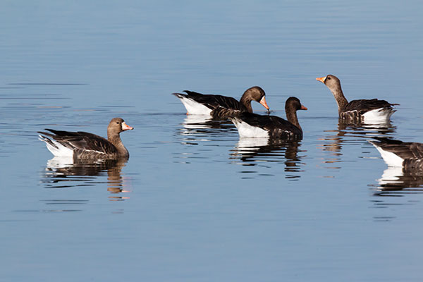 Greater White-fronted Geese  Anser albifrons