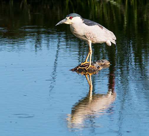 Black-crowned Night-Heron Nycticorax nycticorax