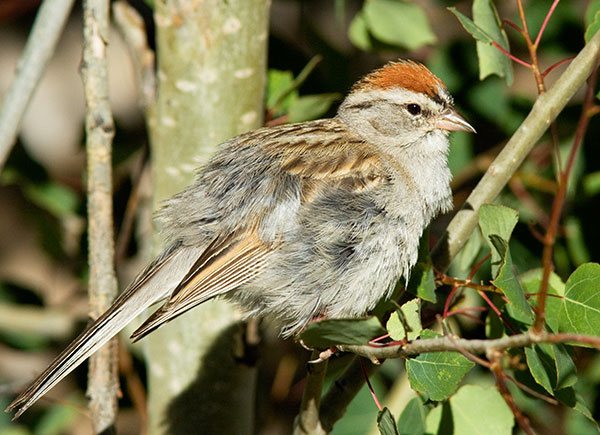 Chipping Sparrow Spizella passerina