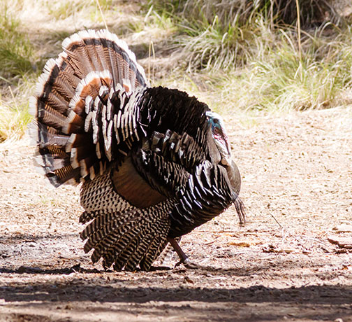 Gould's Wild Turkey Meleagris gallopavo mexicana