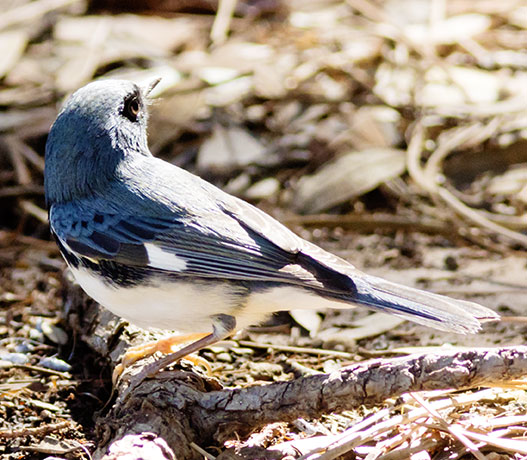 Black-throated Blue Warbler Dendroica caerulescens