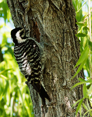 Ladder-backed Woodpecker Picoides scalaris