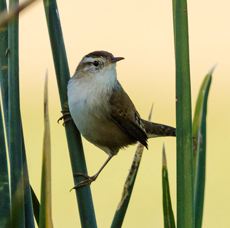 Marsh Wren Cistothorus palustris