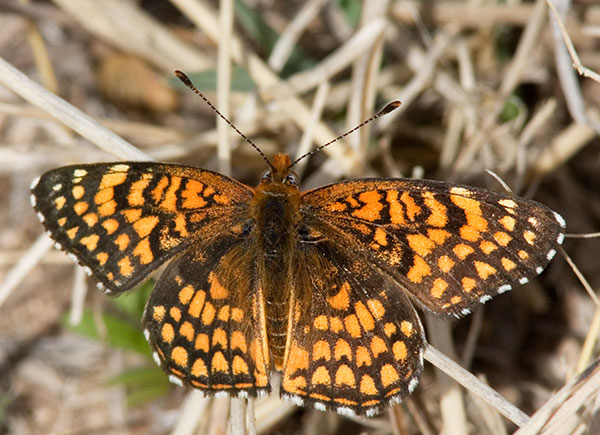 Sagebrush Checkerspot Chlosyne acastus Butterfly