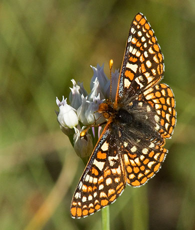 Anicia Checkerspot Euphydryas anicia magdalena Butterfly