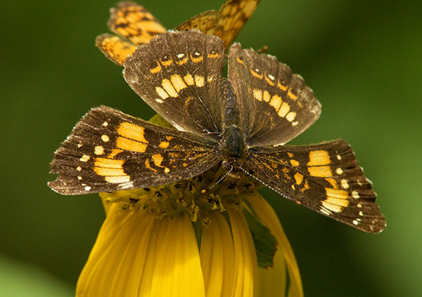 Silvery Checkerspot Chlosyne nycteis  Butterfly