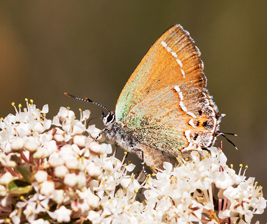 Siva Juniper Hairstreak Callophrys gryneus Butterfly