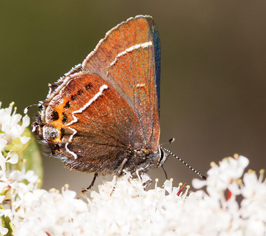 Thicket Hairstreak Callophrys spinetorum Butterfly