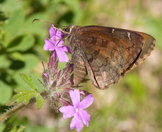 Northern cloudywing Thorybes pylades Butterfly