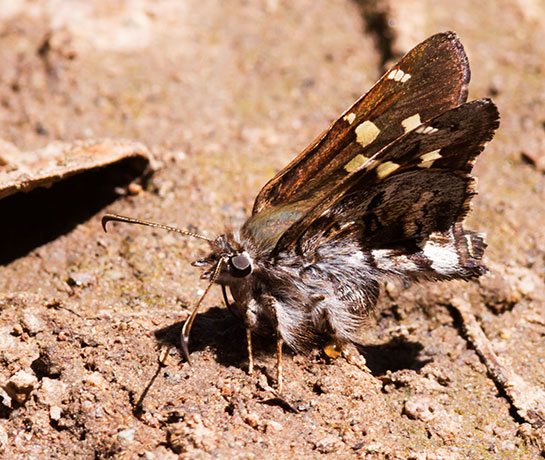 Short-tailed Skipper Zestusa dorus Butterfly