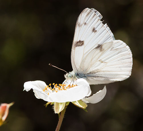 Checkered White Pontia protodice Butterfly