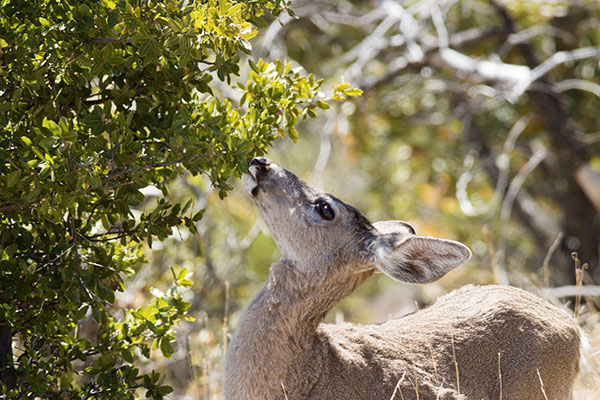 Coues Deer Arizona White-tailed Deer Odocoileus virginianus couesi