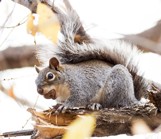 Arizona Gray Squirrel Sciurus arizonensis