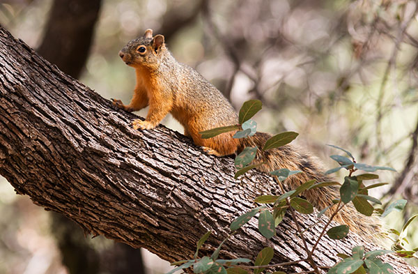 Mexican Fox Squirrels (Chiricahua Squirrel, Apache Squirrel, Nayarit Squirrel) Sciurus nayaritensisf
