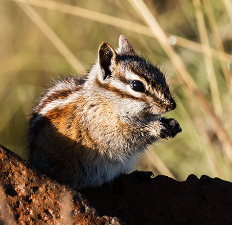 Gray-collared Chipmunk Tamias cinereicollis