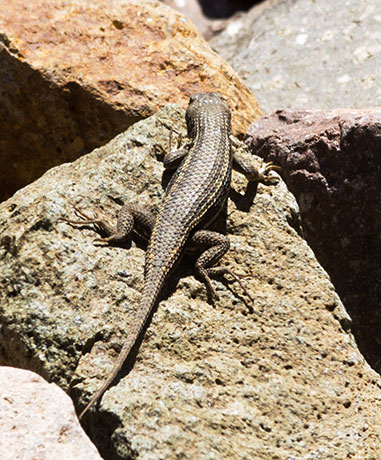 Striped Plateau Lizard Sceloporus Virgatus