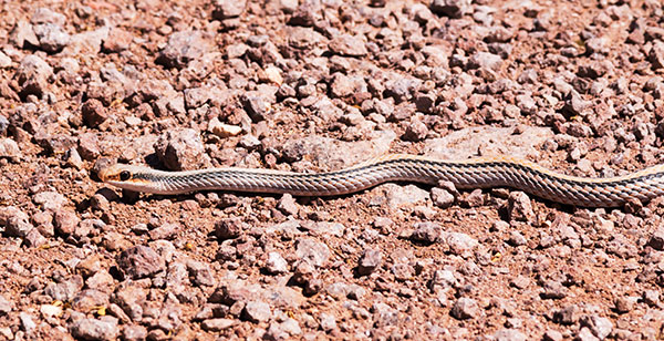 Western Patch-nosed Snake Salvadora hexalepis