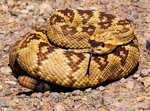 Black-tailed Rattlesnake Crotalus molossus