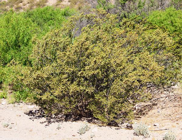 Creosote Bush Larrea Tridentata Greasewood Seed Pods